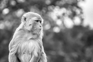 Rhesus Macaque Monkey Black & White