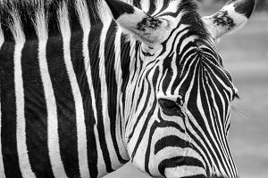 Zebra Close Up in Black & White