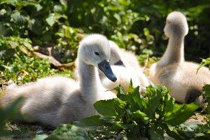Cygnets (Baby Swans) Nesting