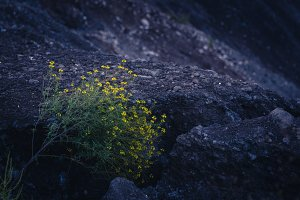 Yellow flowers in black sand