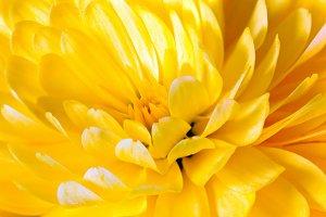 Autumn chrysanthemum flowers