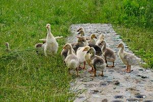 Ducklings crew