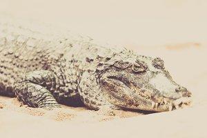 wilderness crocodile