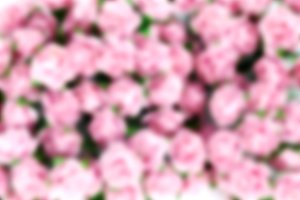 Abstract blurred light magenta roses for background