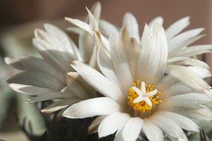 Turbinicarpus macrochele flowers