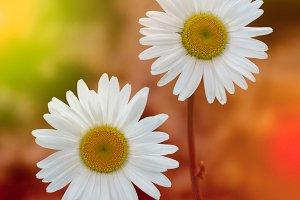 white chamomile in nature