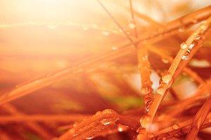Autumn red grass with drops