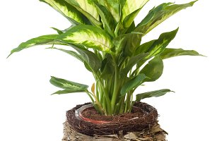 Home potted plant isolated