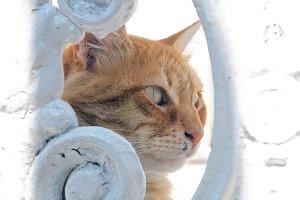 Head of red cat