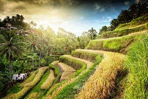 Rice terrace, Bali