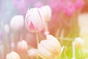 Flowers tulips background.