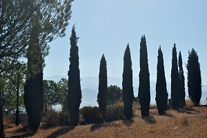 cypresses row backlit