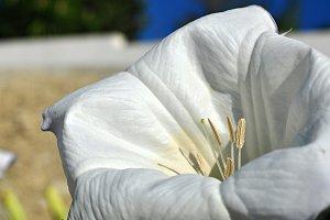 stramonium flower and stamens