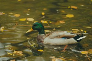 Duck in a pond.