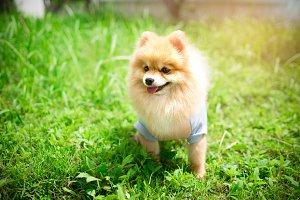 Dog pomerania