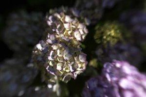 Hydrangeas in Golden Light