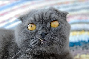 Cat of Scottish fold