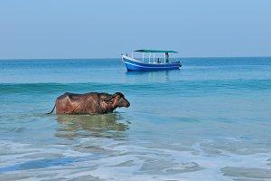 Buffalo and the fishing boat