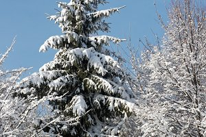 Winter snow covered fir tree