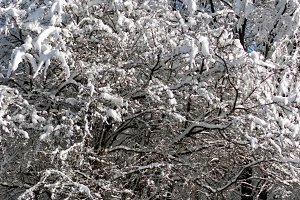 Winter snow covered tree