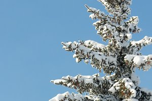 Winter snow covered fir tree