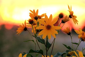 Summer Daisies At Sunset 1