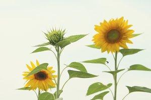 Sunflowers Against White Sky