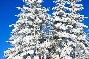 Winter fir trees
