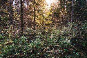 Deep autumn forest with warm sunlight illuminating green foliage. Wilderness woods landscape with rich vegetation