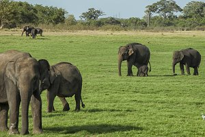 Elephants with young
