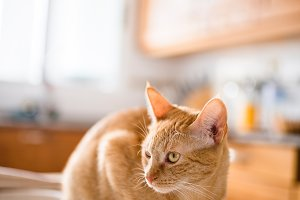 Ginger cat on the table