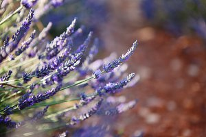 Lavender and sienna soil of Provence