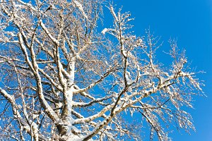 Winter snow covered trees