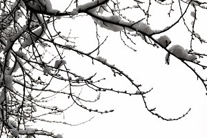 Winter Branches Snow