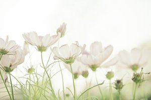 Dreamy white cosmos flowers field