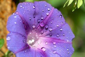 Glorybind flower