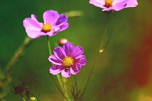 Purple Flowers Closeup