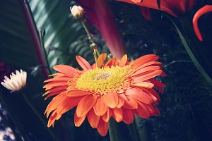 Orange Gerbera Closeup