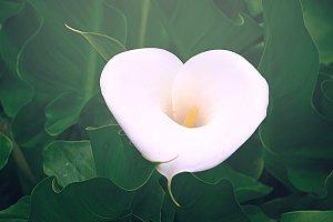 White Calla Lily Closeup