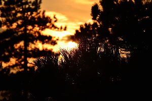 Sunset in the Pine Forest