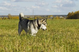 Sled dog breed Malamute