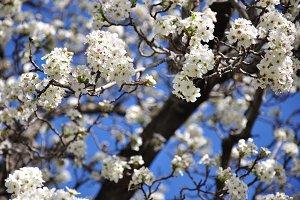 White Flowers on Blue Sky