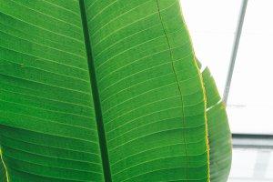 Big Leaf Texture