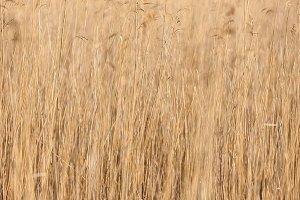 Yellow reeds at the lake