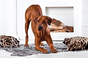 Rhodesian Ridgeback dog bending with its ridge revealed