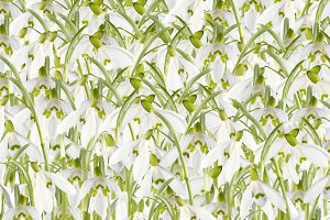 snowdrop flower background