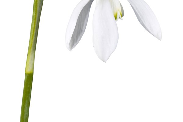 snowdrop flower isolated