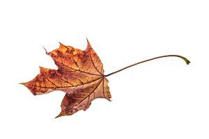Dry maple leaf isolated JPG