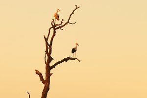 Two storks perched on a dead tree