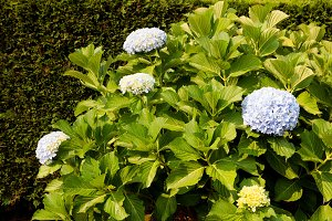 Big hydrangea plant
